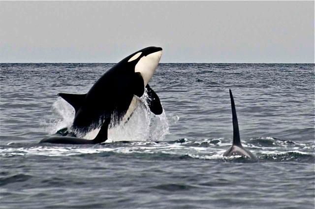 Southern Resident orcas, San Juan Islands.