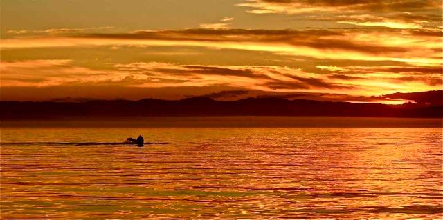 Humpback whale fluke seen in the sunset, Haro Strait.