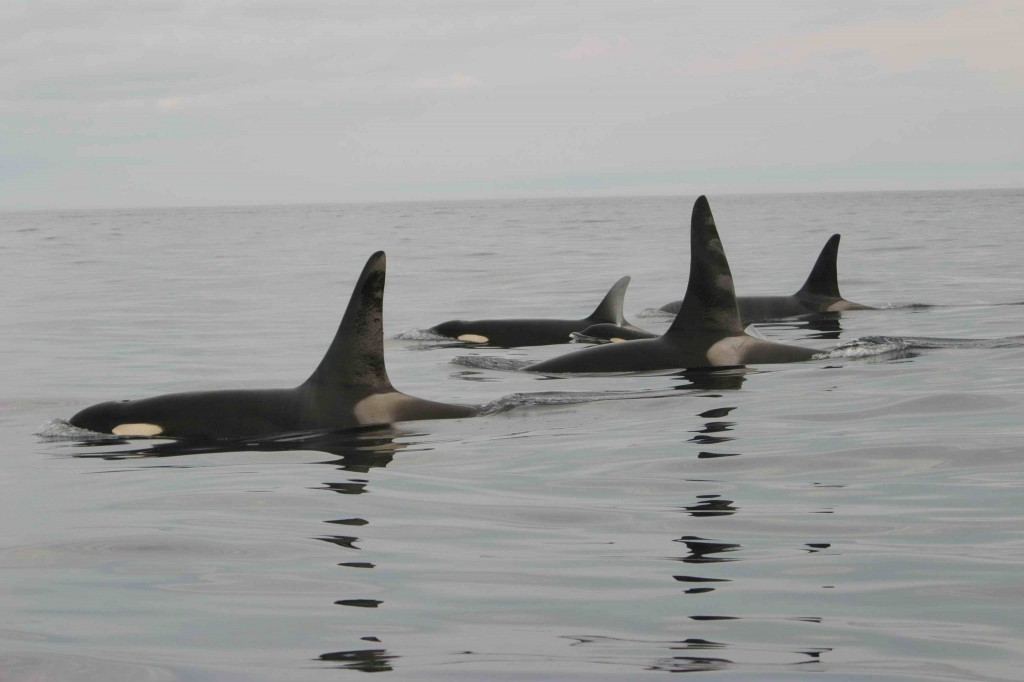 Southern Resident killer whales NOAA photo