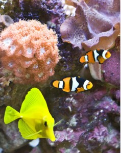 Yellow tan and clown fish puzzle. (Click to solve.)