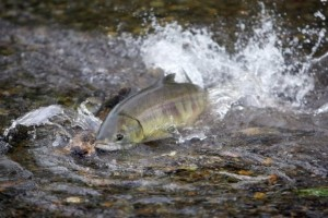 Chum salmon in Chico Creek. Kitsap Sun photo