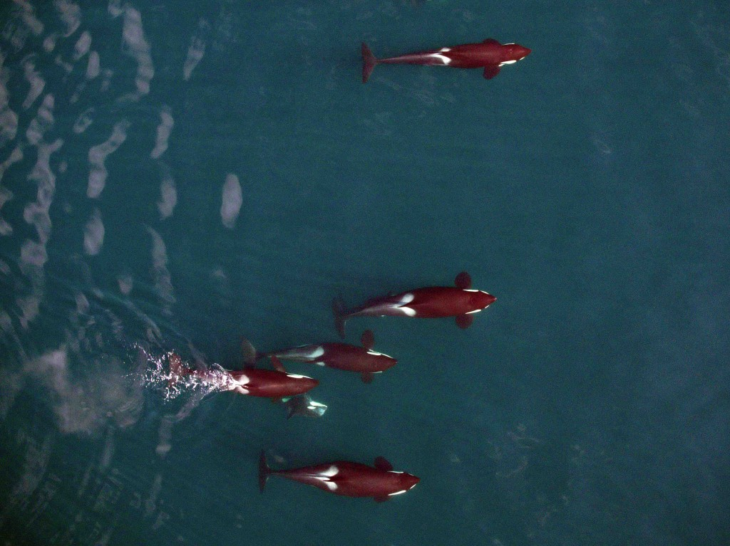 Orcas vary in physical condition. The female at top appears skinny and in poor health. The female in the middle appears healthy. The one at the bottom is pregnant, her body bulging at the ribcage. Photo courtesy of NOAA, Vancouver Aquarium