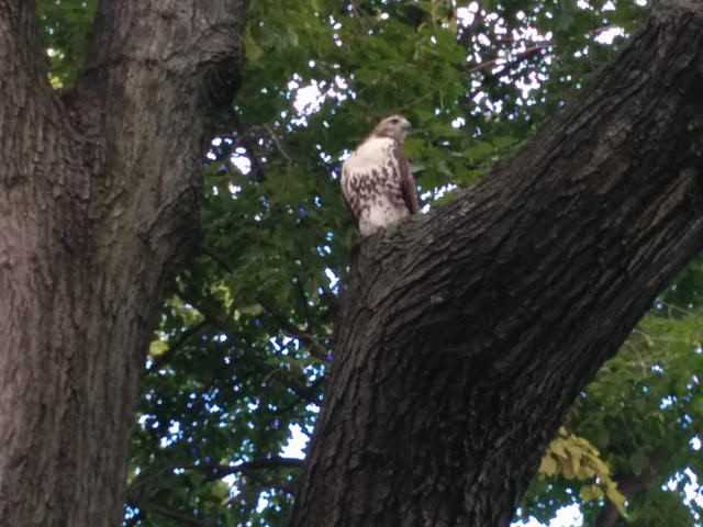 The hawk appeared to be fine after the attack. Photo courtesy of Christopher Schmidt