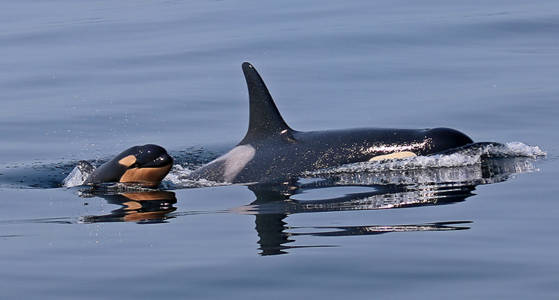 The baby orca, L-120, with its mother a few weeks ago while still alive. The calf is reported missing and presumed dead. Photo courtesy of Carrie Sapp.