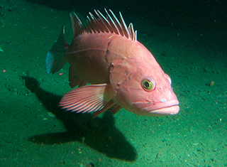 Yelloweye rockfish Photo by Kip Evans, NOAA