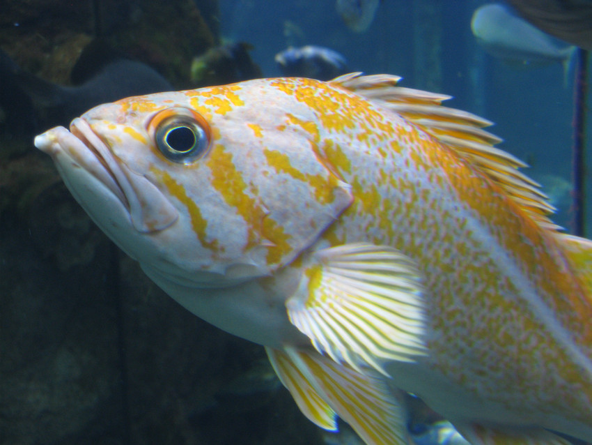 Canary rockfish Photo by Tippy Jackson, NOAA