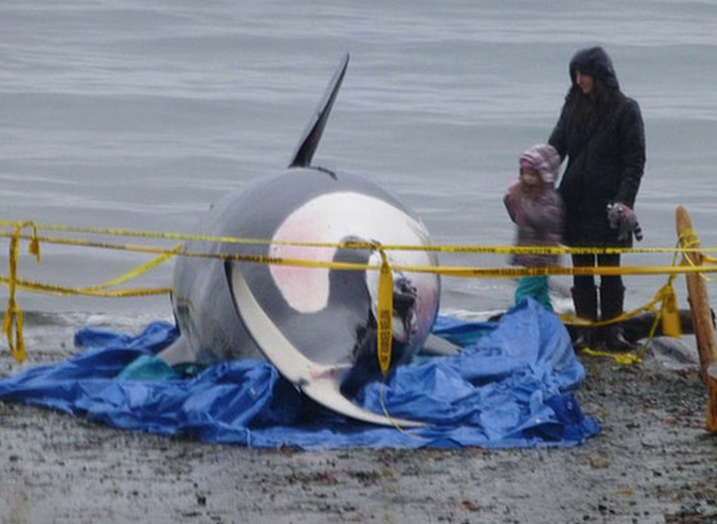 J-32 awaiting necropsy on Bates Beach near Courtenay, B.C. Photo courtesy of Center for Whale Research