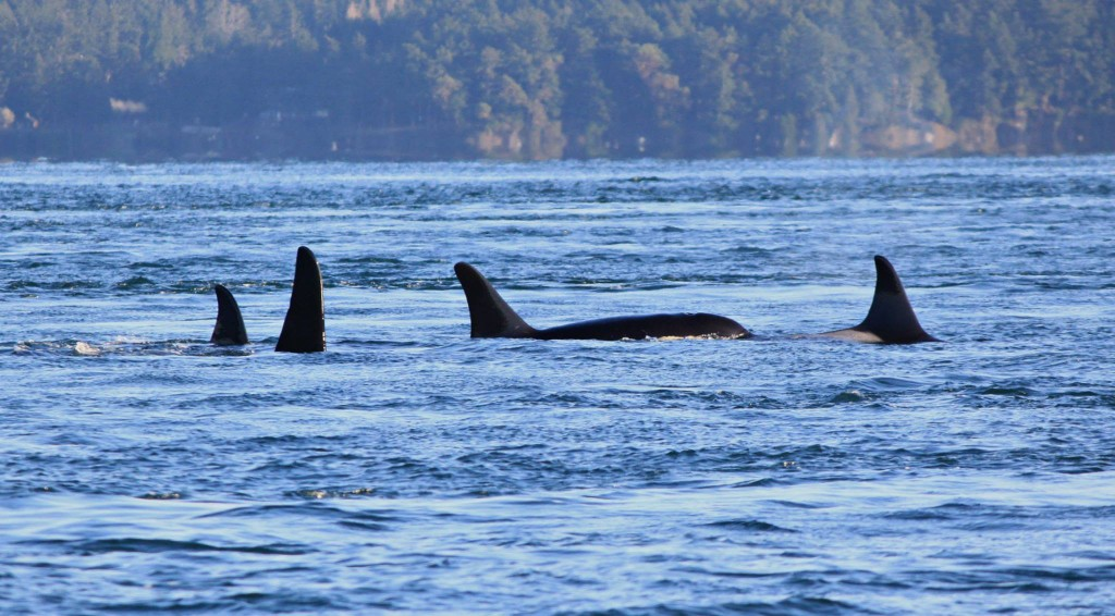 One of the last photos taken of J-32, Rhapsody, shown here in the lead at right. The picture was taken in Speiden Channel on Nov. 29, five days before she was found dead. Photo courtesy of Melisa Pinnow, via Orca Network