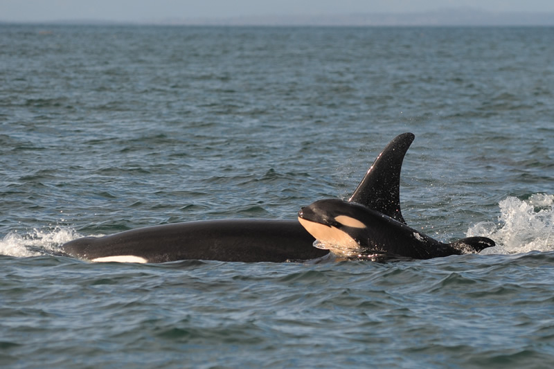 The new calf, J-50, has been sticking close to J-16, a 43-year-old female. Photo by Dave Ellifrit, Center for Whale Research
