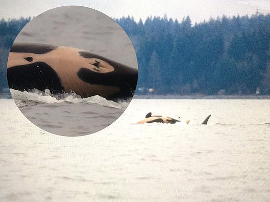 The baby killer whale, J-50, with her family.Photo by Jane Cogan, courtesy of Center for Whale Research