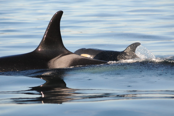 J16, a 40-year-old orca named Slick, attends her her newborn calf, J50. Photo by Dave Ellifrit, Center for Whale Research.