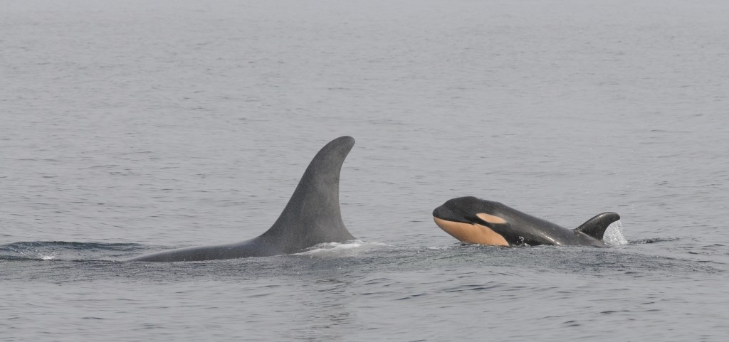 The newest calf in J pod, J-51, swims with its mother J-19, a 36-year-old female named Shachi. NOAA photo