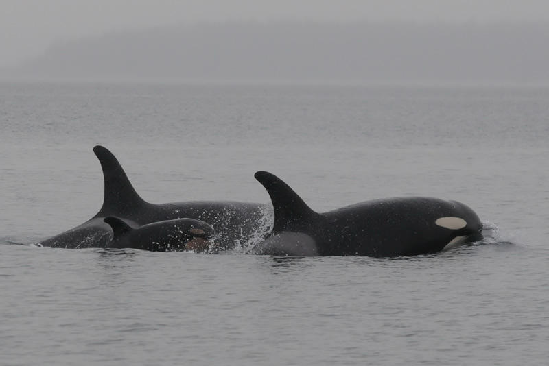 The newest calf, J-51, with its presumed mom on the left and sister on the right. Photo by Dave Ellifrit, Center for Whale Research