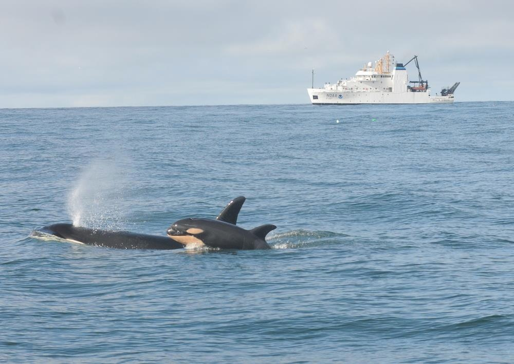 A newborn orca with its mother L-94, named Calypso, near the entrance to Grays Harbor on the Washington Coast. The research vessel Bell M. Shimada can be seen in the background. NOAA photo by Candice Emmons
