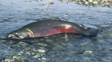 Chinook salmon Photo: Bureau of Land Management