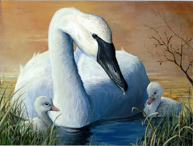 Second-place in the 2014 contest went to Andrew Kneeland, 16, of Rock Springs, Wyo., for his acrylic painting of a trumpeter swan with cygnets. Photo: USFWS