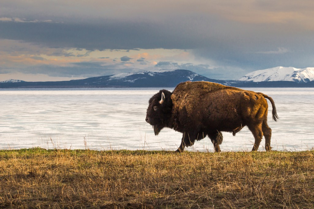Jordan Moore of San Marcos, Texas, captured third place with his photo of a bison at the edge of Yellowstone Lake in Yellowstone National Park in Wyoming. National Park Foundation