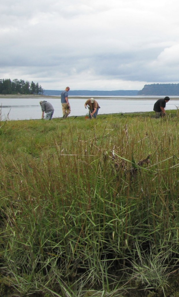 Crews removing spartina from Tulalip Bay. Dept. of Agriculture photo