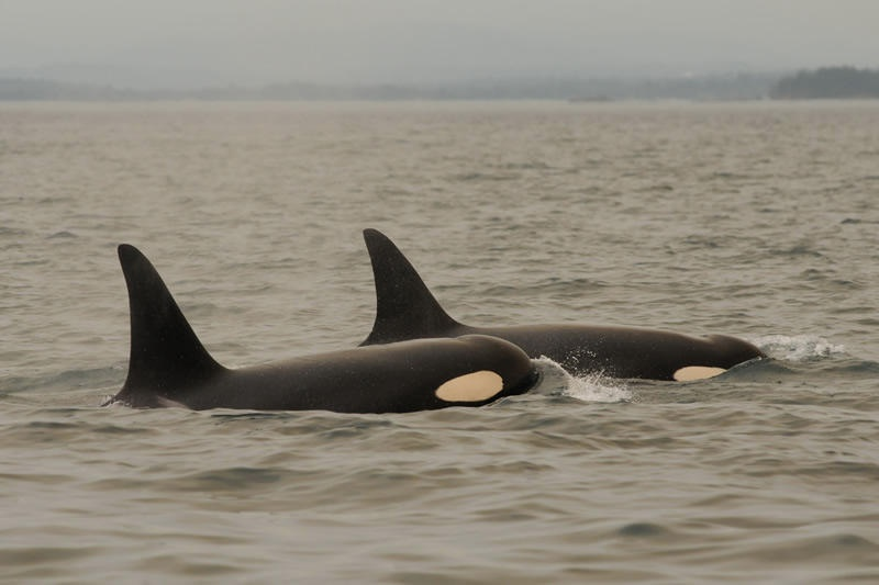 A 29-year-old female named Racer (L-72) and her 11-year-old son Fluke (L-105) are among the four orcas spotted in the San Juan Islands this week. It was the first time the group was seen in inland waters this summer. One group of five still has not returned. Photo by Dave Ellifrit, Center for Whale Research NMFS PERMIT: 15569/ DFO SARA 272