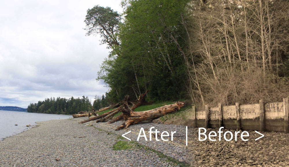 Before and after composite view of a 2013 bulkhead-removal project at Penrose Point State Park in Pierce County. Original photos: Kristin Williamson, South Puget Sound Salmon Enhancement Group