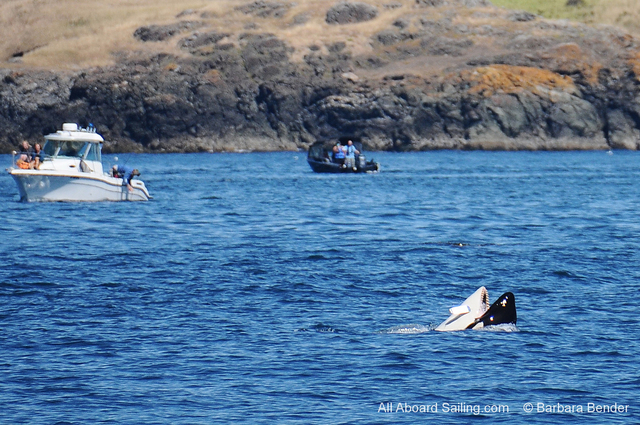 A 12-year-old orca named Mako seems to be caught with fishing gear in his mouth in this photo taken Saturday west of San Juan Island. The whale does not appear to be injured. Photo: Barbara Bender/All Aboard Sailing via AP