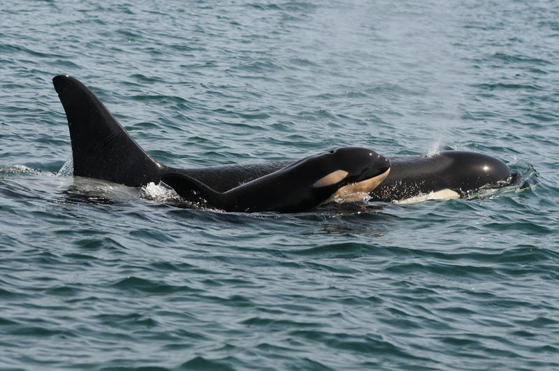 Newborn calf L-122 with its mother L-91 or Muncher. Photo by Dave Ellifrit, Center for Whale Research