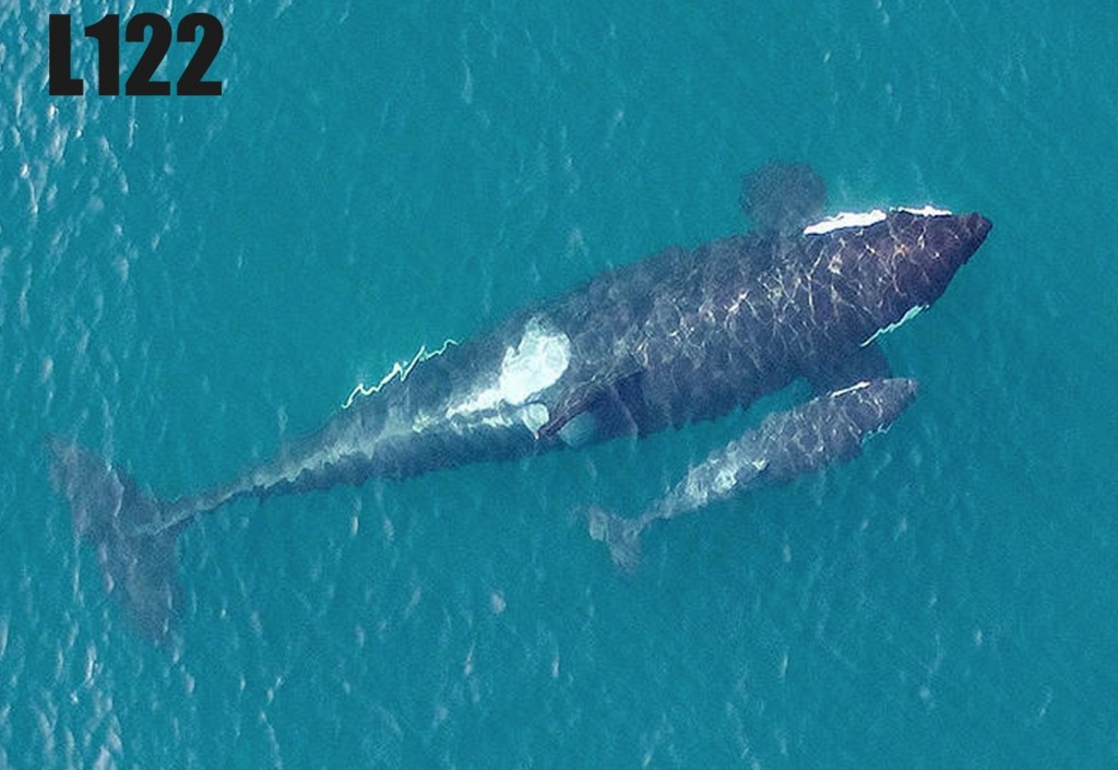 Aerial photos of L-91, a 20-year-old female, and her newborn baby. Photo: NOAA, Vancouver Aquarium, under NMFS Permit 16163 and FAA Flight Authorization Class G MOU: 2015-ESA-4-NOAA.