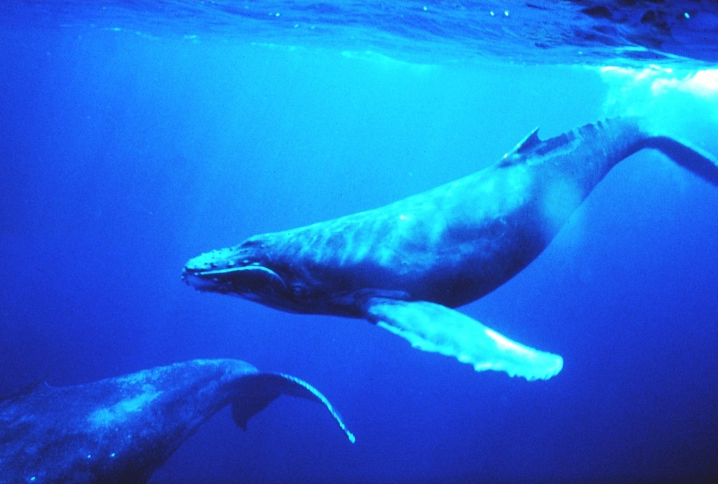 Humpback whales, an endangered species. NOAA photo by Dr. Louis M. Herman