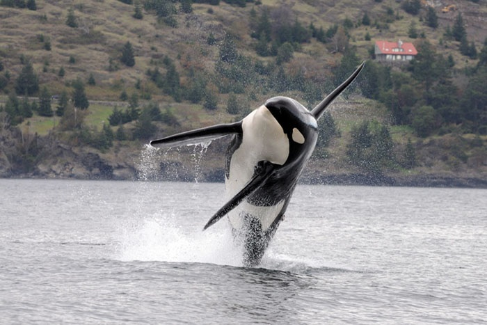 Southern Resident killer whale, an endangered species. NOAA photo