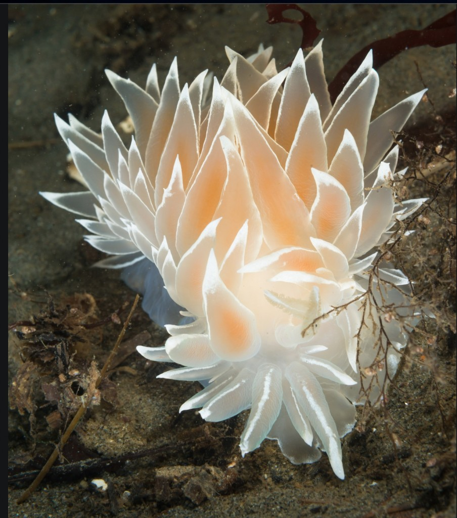 Frosted nudibranch Photo: Dan Hershman