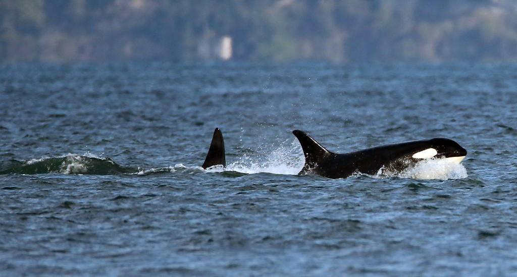 A pod of Southern Resident orcas travels south past Point No Point this afternoon. Typically, the three Southern Resident pods move into Central and South Puget Sound to hunt for chum salmon in October, but this year they have stayed away until now. Photo: Meegan Reid, Kitsap Sun