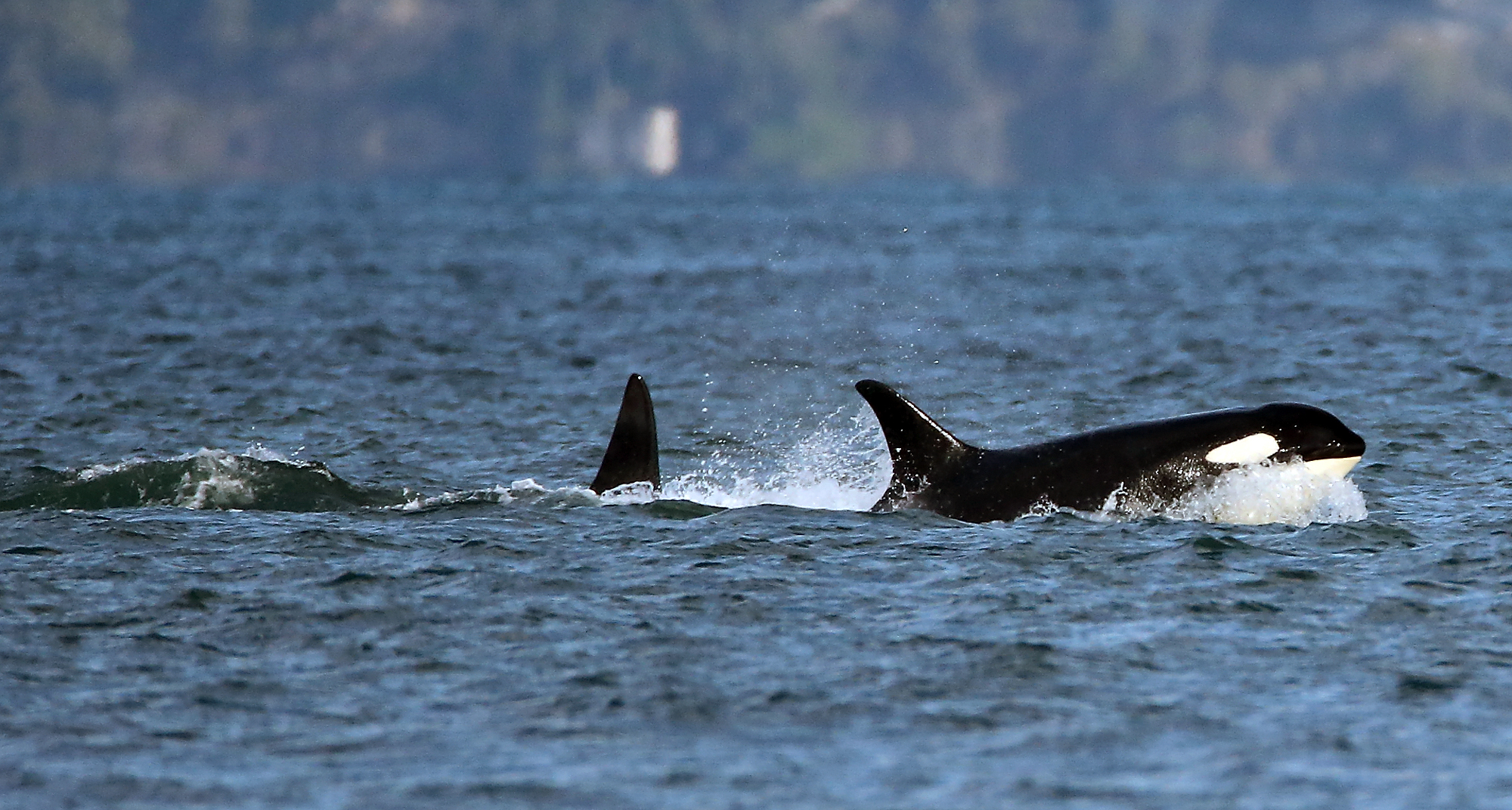 killer whales begin their annual excursion into central puget  a pod of southern resident orcas travels south past point no point this afternoon typically