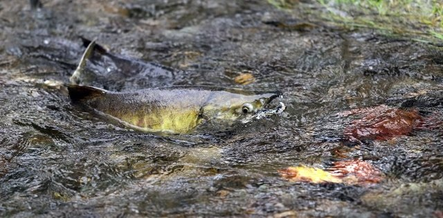 Chum salmon swimming up Chico Creek at Chico Salmon Park. Photo: Larry Steagall, Kitsap Sun