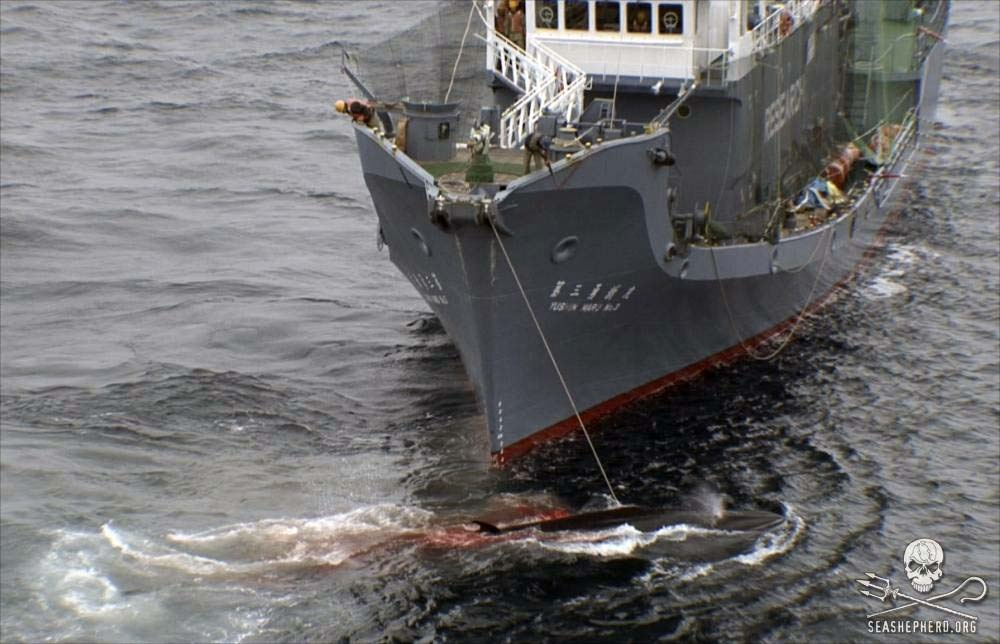 A harpooned minke whale lies dying, as whalers aboard the Japanese ship Yushin Maru Number 3 try to finish it off with a rifle. Photo: Sea Shepherd
