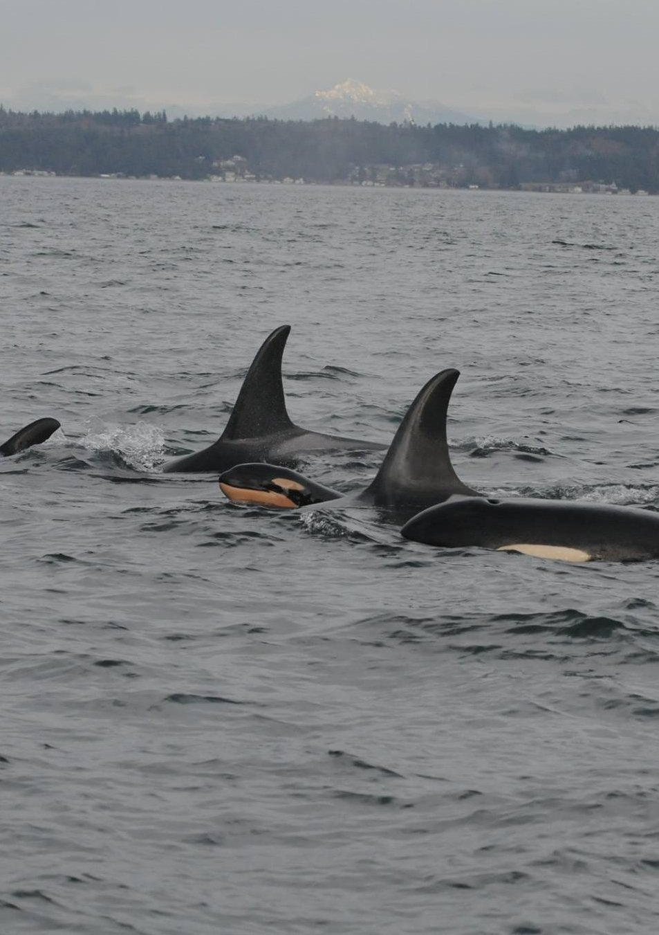 New calf J-55 with adult females J-14 and J-37. Photo: NOAA Fisheries