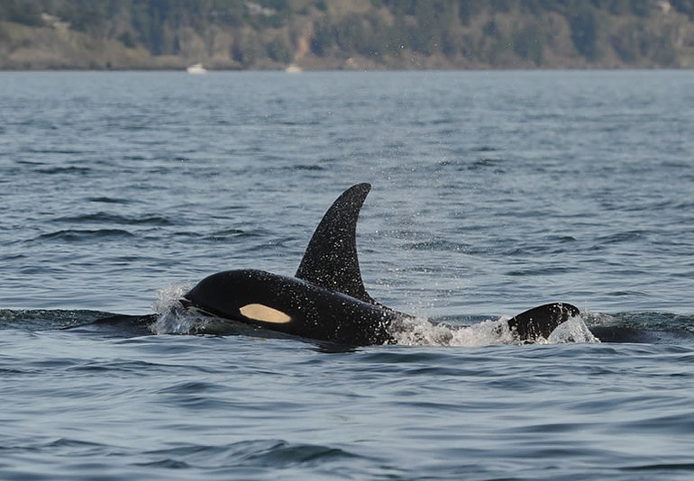 J-37 seen this week with her son J-49. No sign of the calf J-55. Photo: Dave Ellifrit, CWR