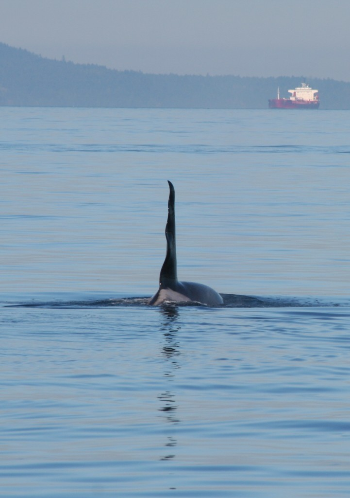 "J-1, known as ""Ruffles,"" uses echolocation clicks to locate chinook salmon as a tanker approaches in Haro Strait near the San Juan Islands. J-1 was the oldest male among the Southern Resident killer whales when he died in 2011. Photo: beamreach.org (CC BY SA)"