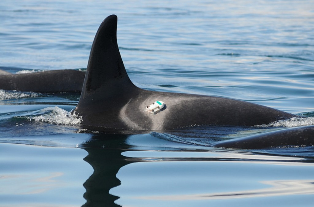 Digital acoustic recording tags are used to measure sound levels felt by killer whales. NOAA photo