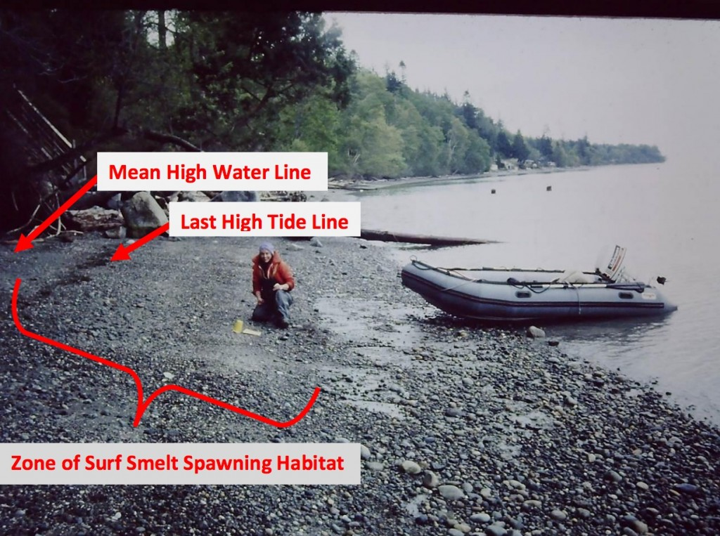 Surf smelt spawning zone below low tide mark Illustration: Washington Department of Fish and Wildlife