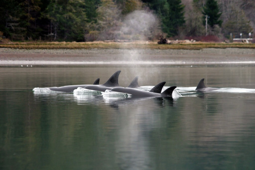 Transient killer whales Photo: Kitsap Sun