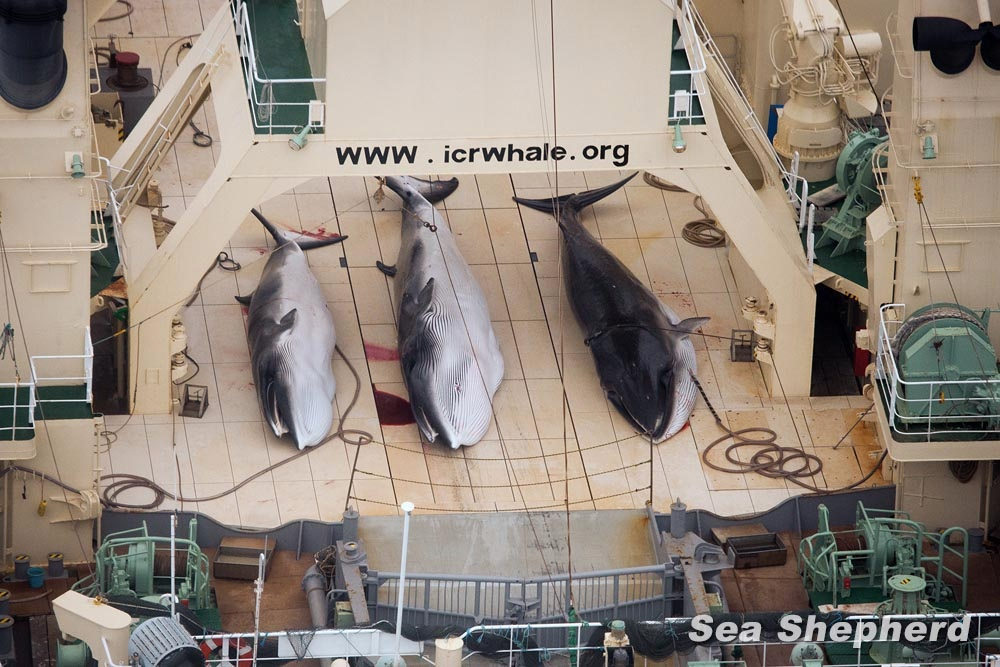Three dead minke whales were hauled up on the deck of the Japanese whale-processing ship MV Nisshin Maru in 2014. Photo: Tim Watters, Sea Shepherd Australia