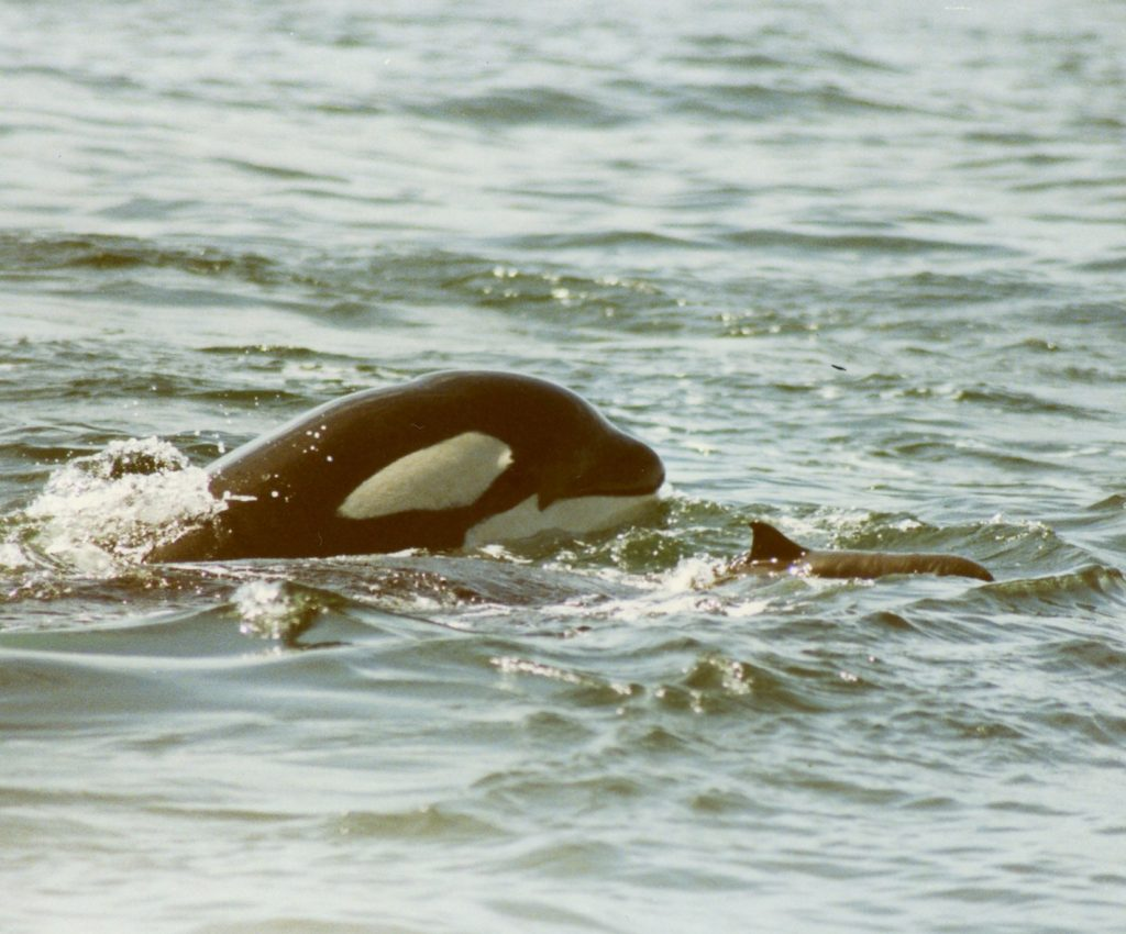 A 6-year-old killer whale from L pod, known as L-73, chases a Dall's porpoise in this historical photo taken in 1992. Photo: Debbie Dorand, Center for Whale Research