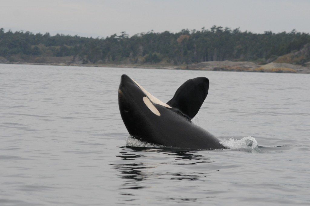 L-95, named Nigel, was found dead March 31. File photo: Department of Fisheries and Oceans, Canada