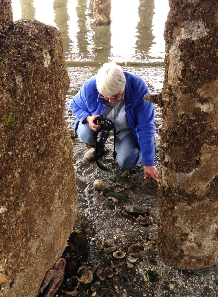 Barb Erickson examines sea stars at the base of a pier in Lofall. Photo: Christopher Dunagan