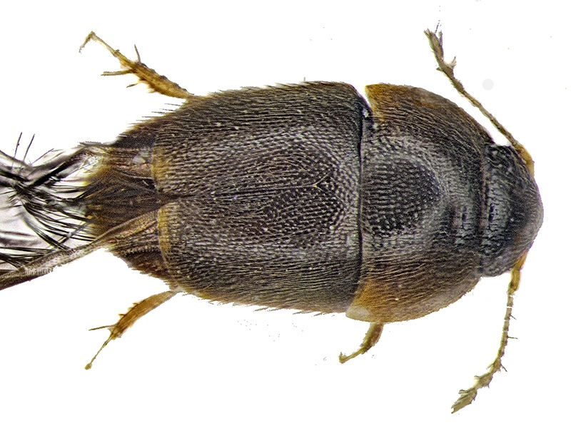 Tiny beetle Photo: Michael Darby