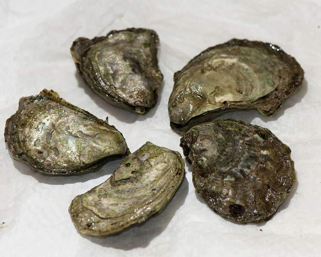 Olympia oysters // Photo: Wikimedia commons