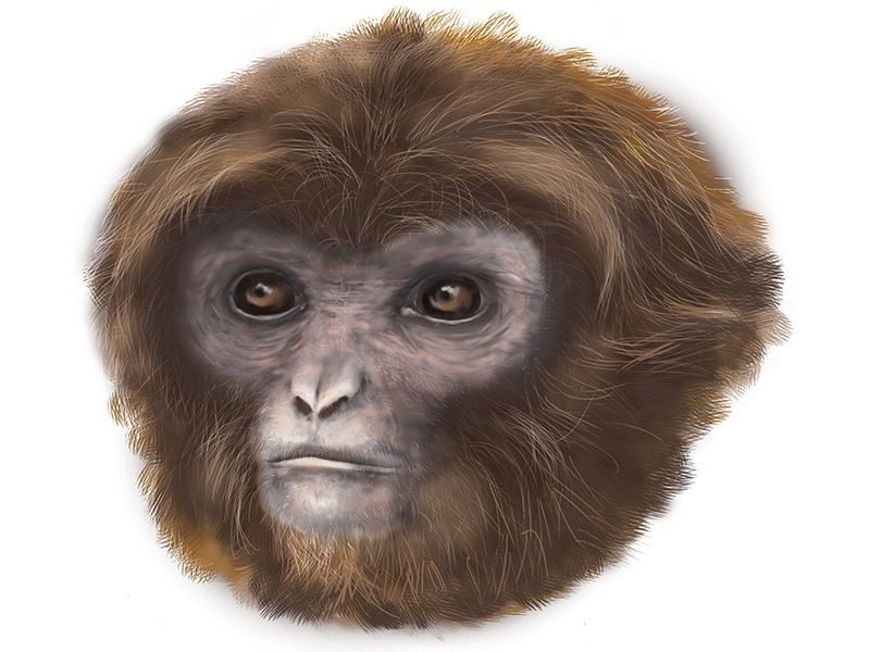 Artists recreation of new primate Image: Mar􀀯a Palmero, Institut Catalá de Paleontologia Miquel (ICP)