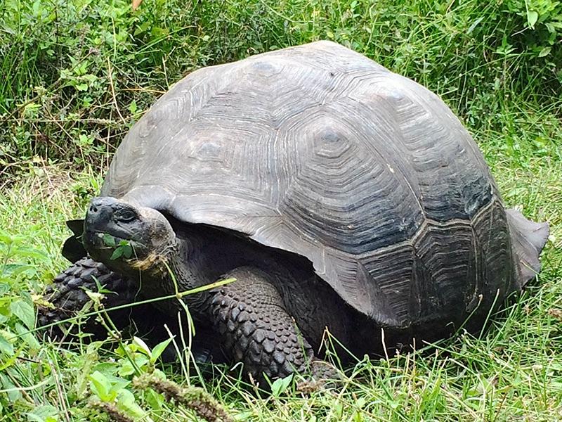 Eastern Santa Cruz Tortoise Photo: Washington Tapia