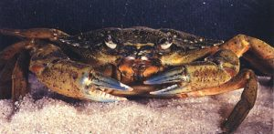 Green crab Photo: USGS