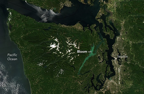 Hood Canal cloaked in light green from heavy plankton growth. NASA image: Jeff Schmaltz, LANCE/EOSDIS Rapid Response